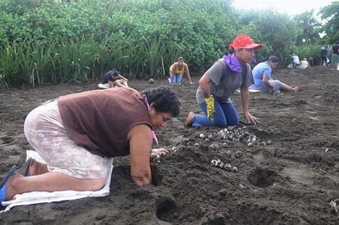 Коста Рика яица черепах добывают незаконно