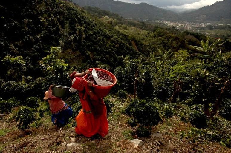На плантациях кофе в Коста-Рика