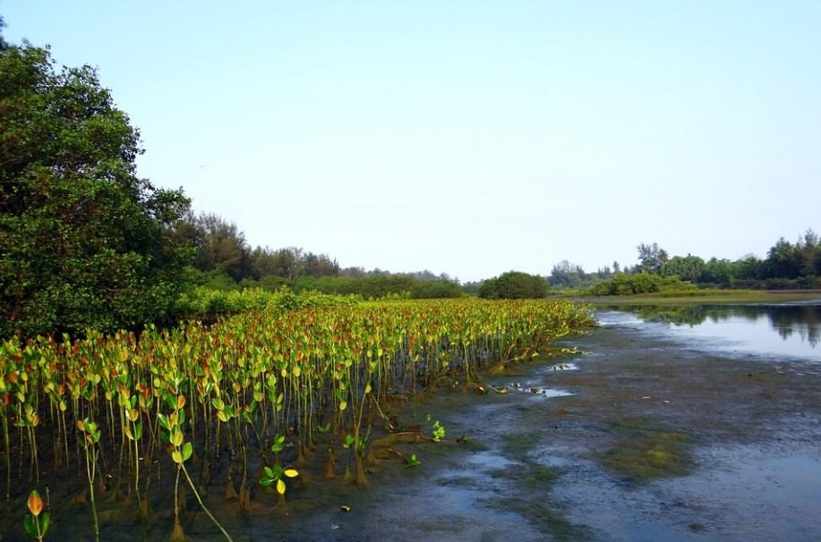 Плантация саженцов мангровых