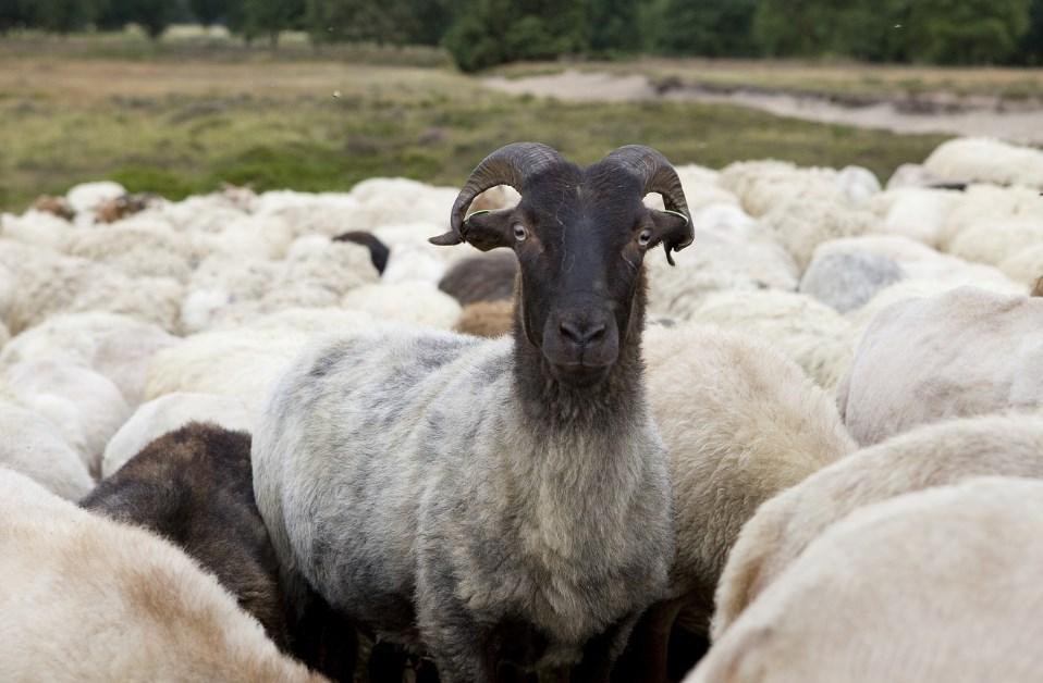 овцы дренте нидерланыд