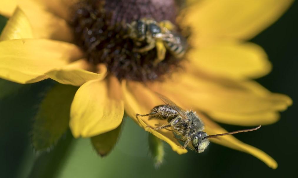Пчела с длинным рогом