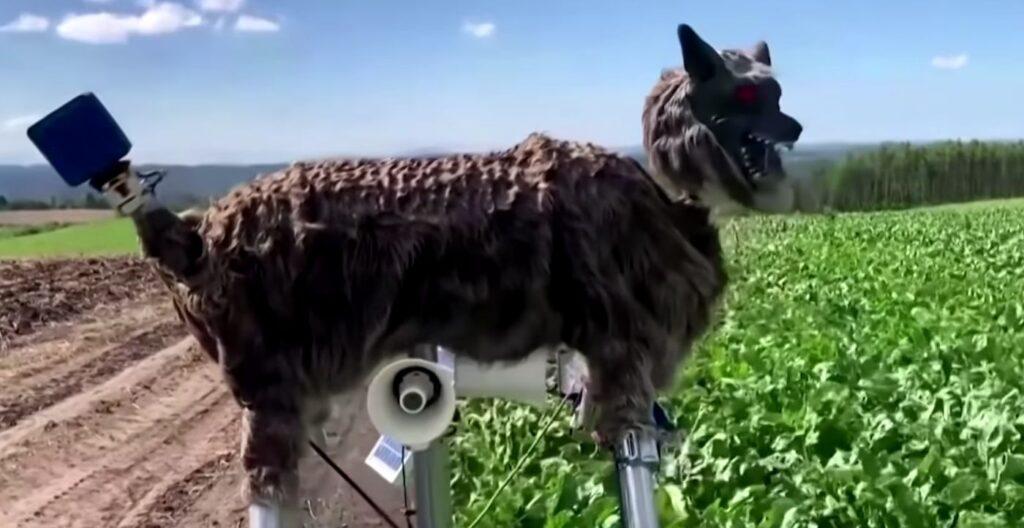 Японский город использует рычащих роботов-волков для защиты жителей от медведей.