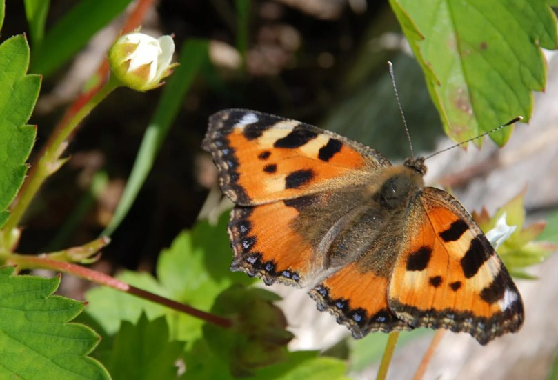 Бабочка на землянике